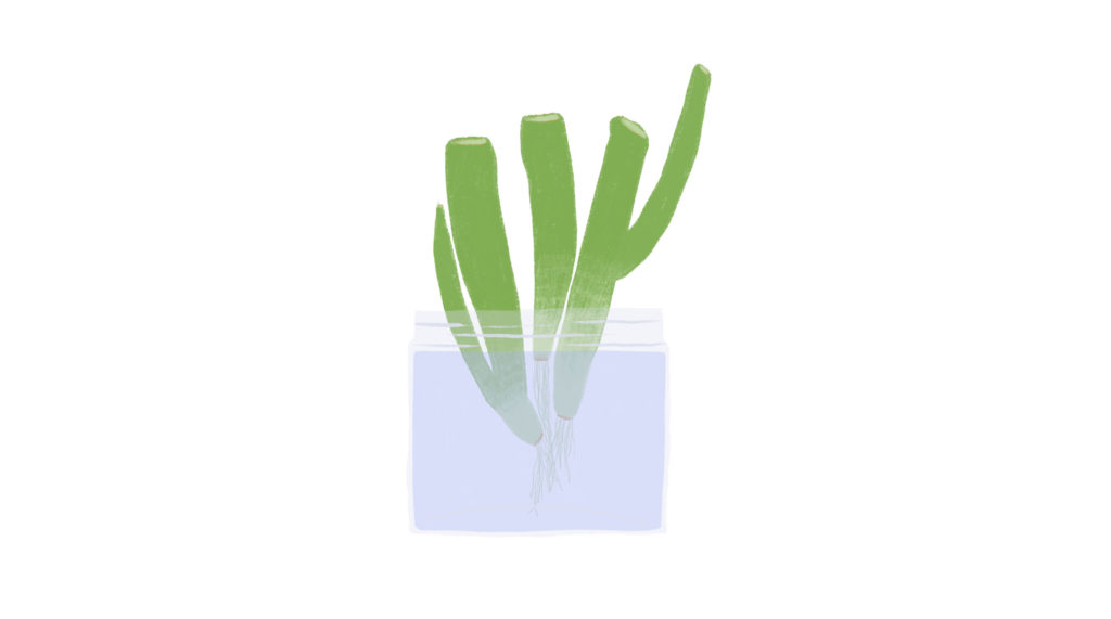 growing green onions illustration
